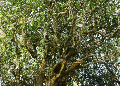 プーアル茶の木